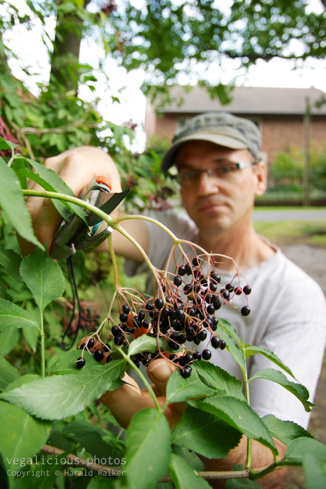 Stock photo of Harvesting elderberries