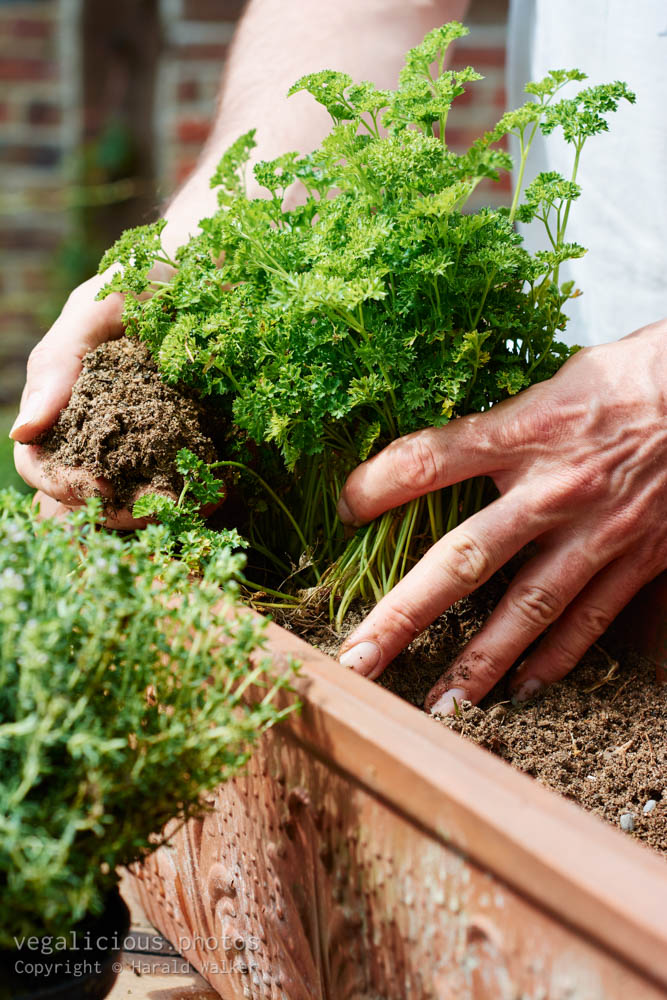 Stock photo of Planting parsley