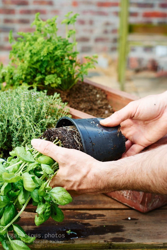 Stock photo of Planting basil