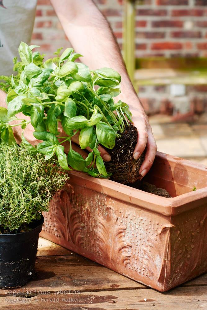 Stock photo of Planting basil