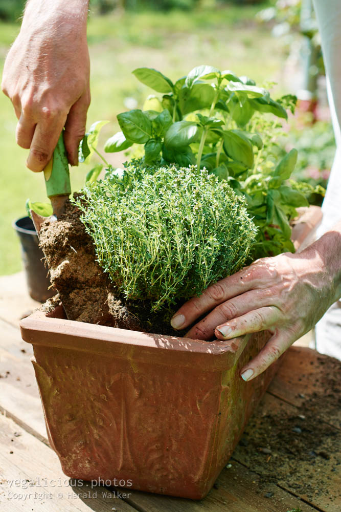 Stock photo of Planting thyme