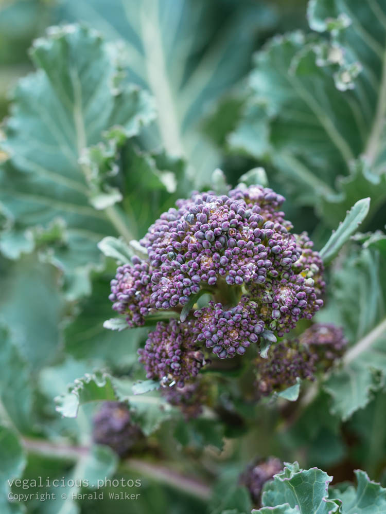 Stock photo of Early Purple Sprouting Broccoli