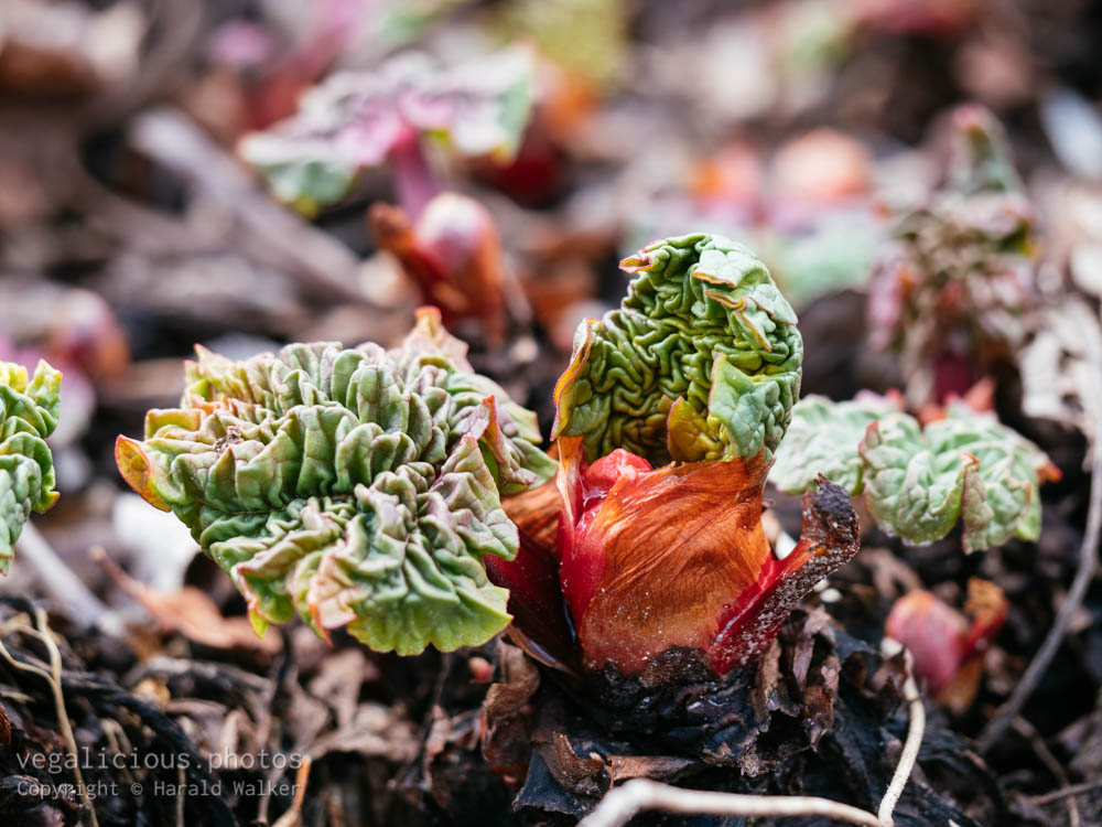 Stock photo of Rhubarb stalks
