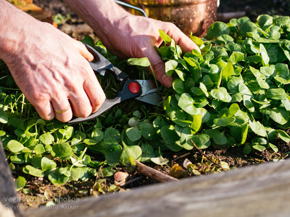 Stock photo of Harvesting winter purslane