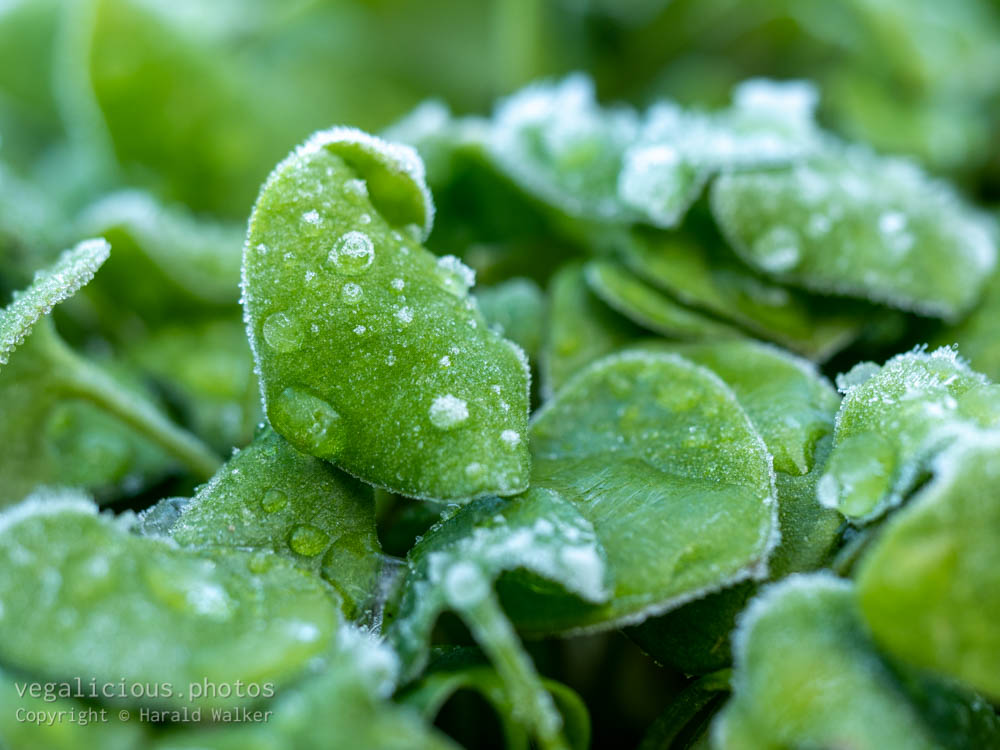 Stock photo of Winter purslane