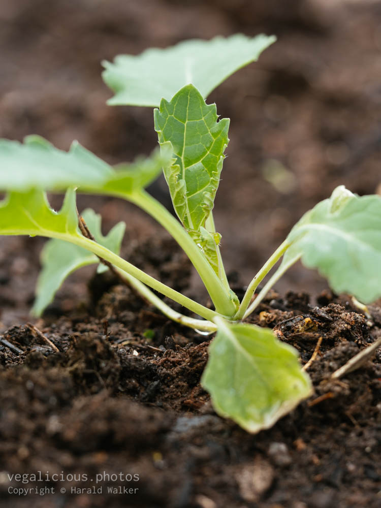 Stock photo of Siberian Kale seedling