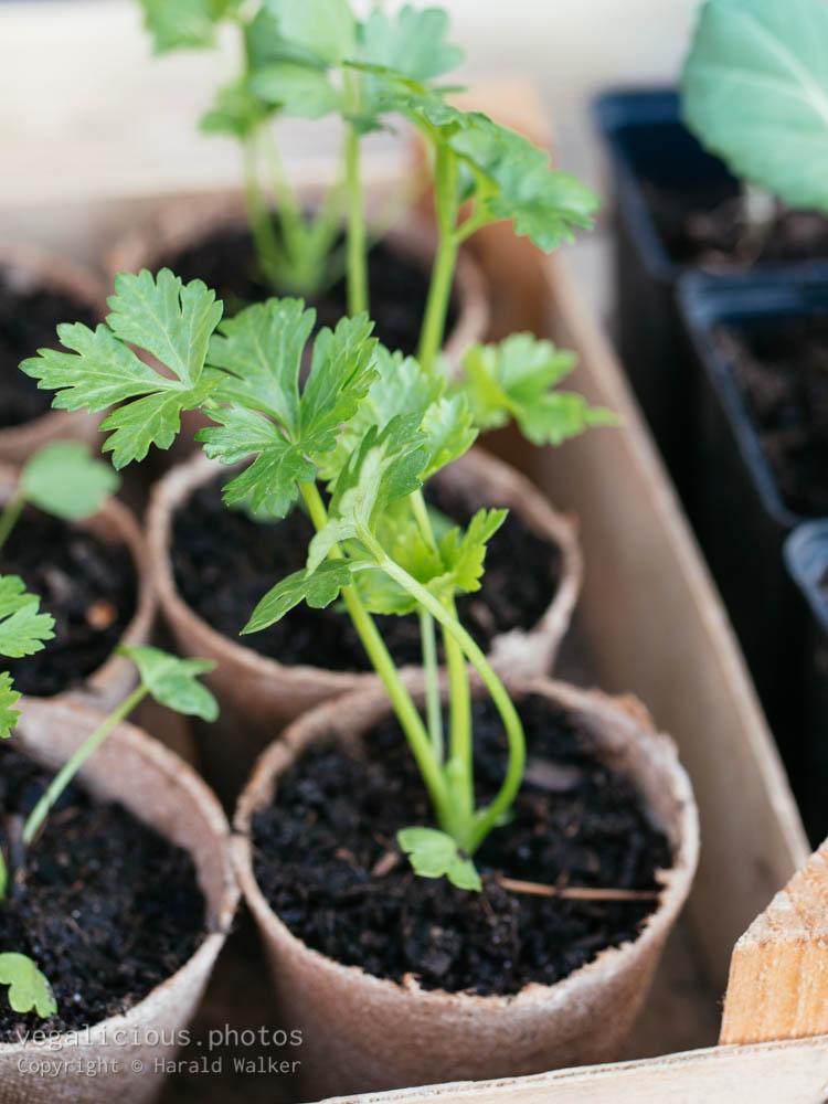 Stock photo of Celeriac seedlings