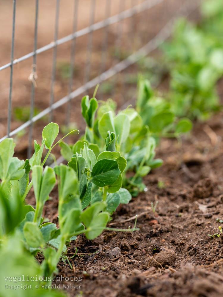 Stock photo of Row of peas