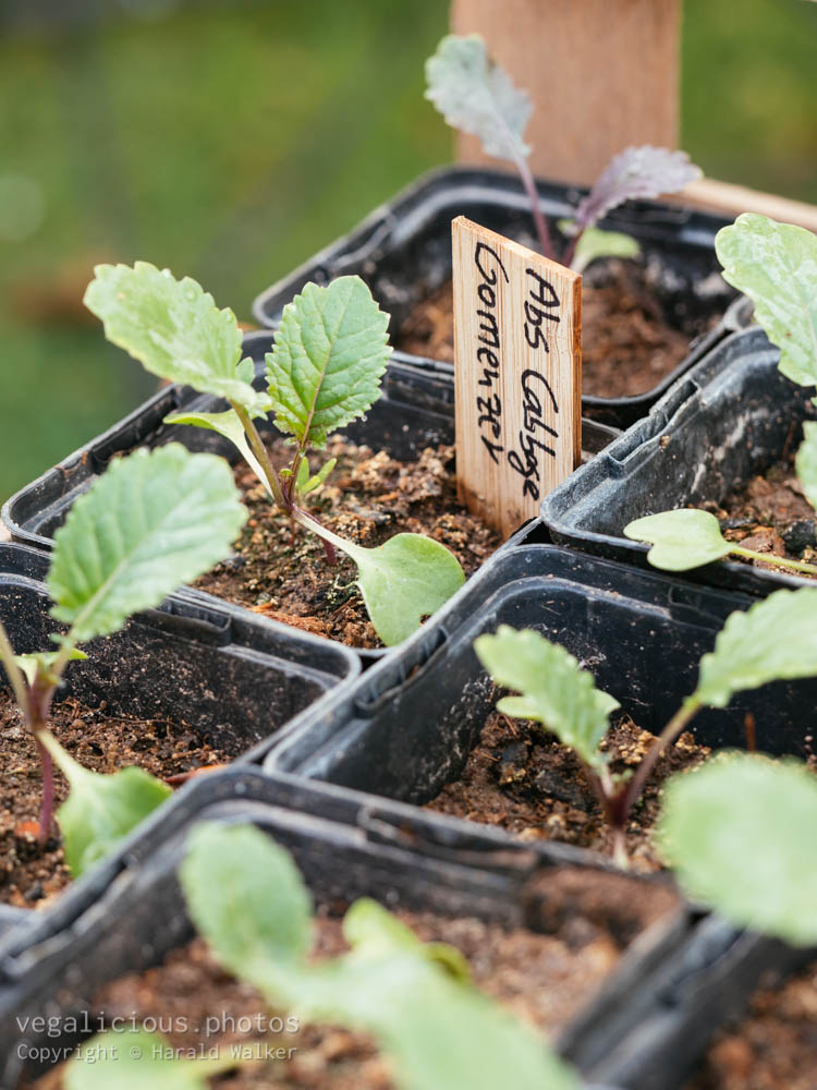 Stock photo of Abyssinian cabbage (Brassica carinata)