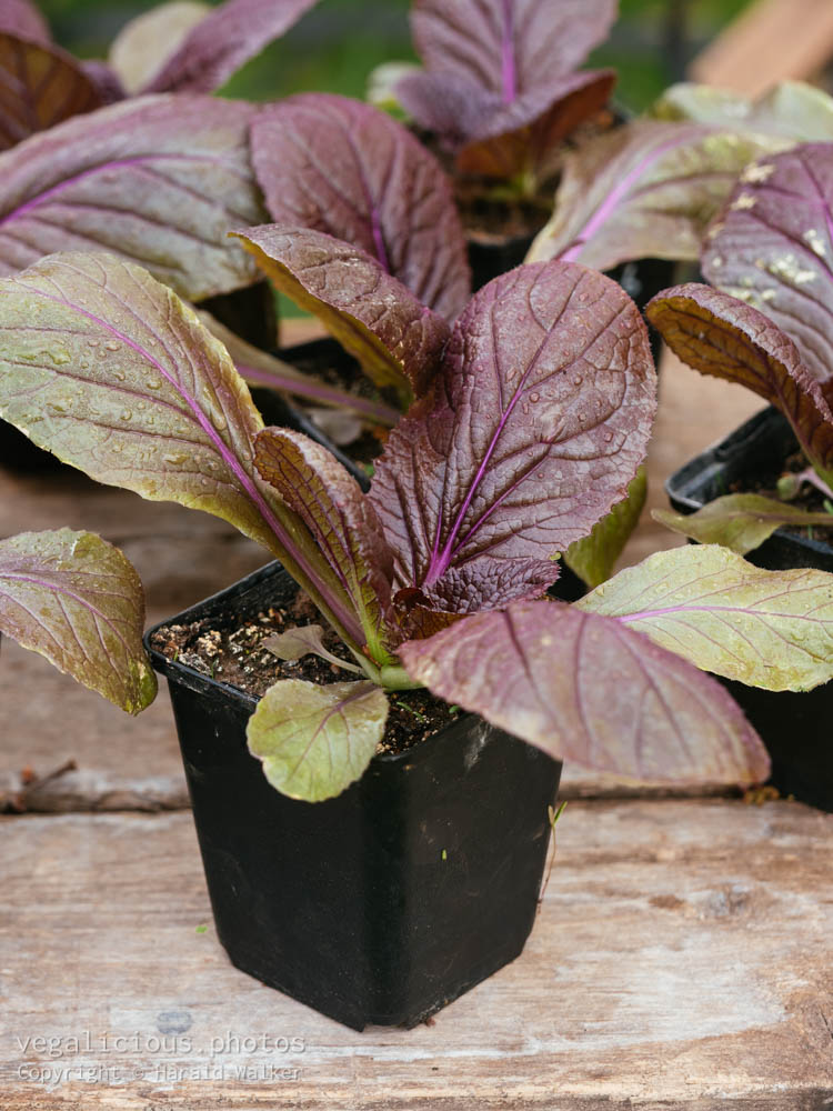 Stock photo of Red nappa cabbage