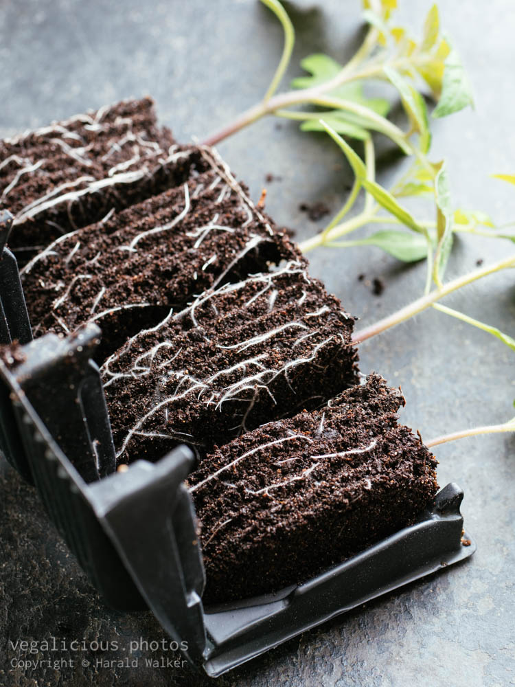 Stock photo of Tomato plants in root trainer