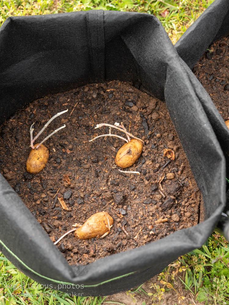 Stock photo of Potatoes in grow bag
