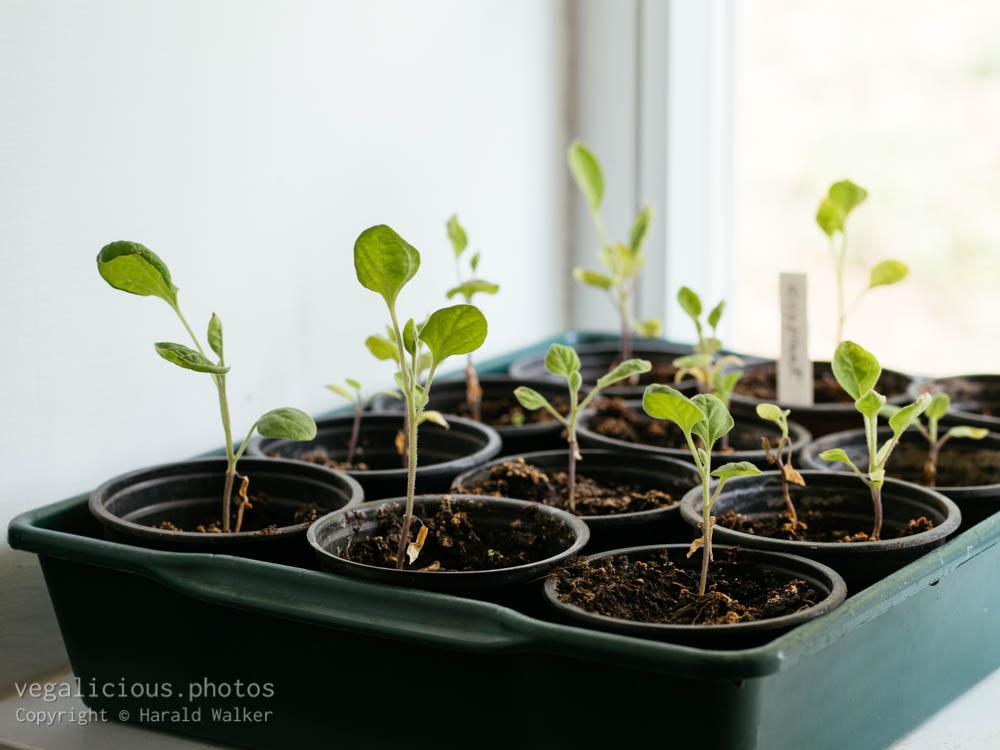 Stock photo of Solanum melongena