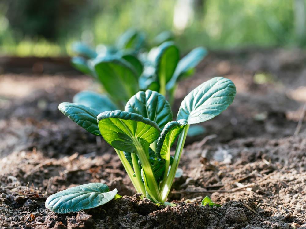 Stock photo of Tatsoi plants