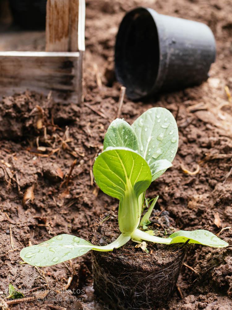 Stock photo of Planting bok choy