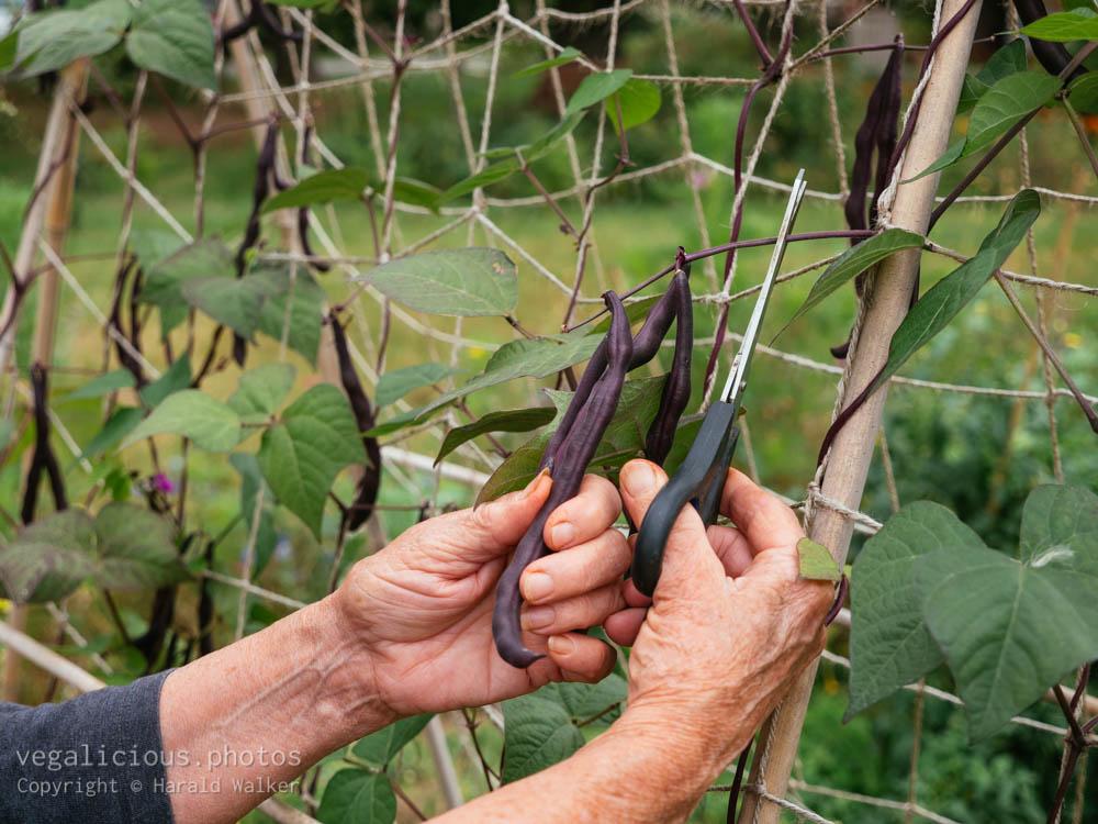Stock photo of Harvesting purple beans