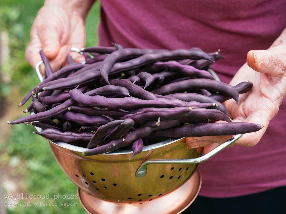 Stock photo of Purple beans