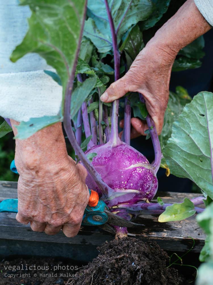 Stock photo of Harvesting kohlrabi