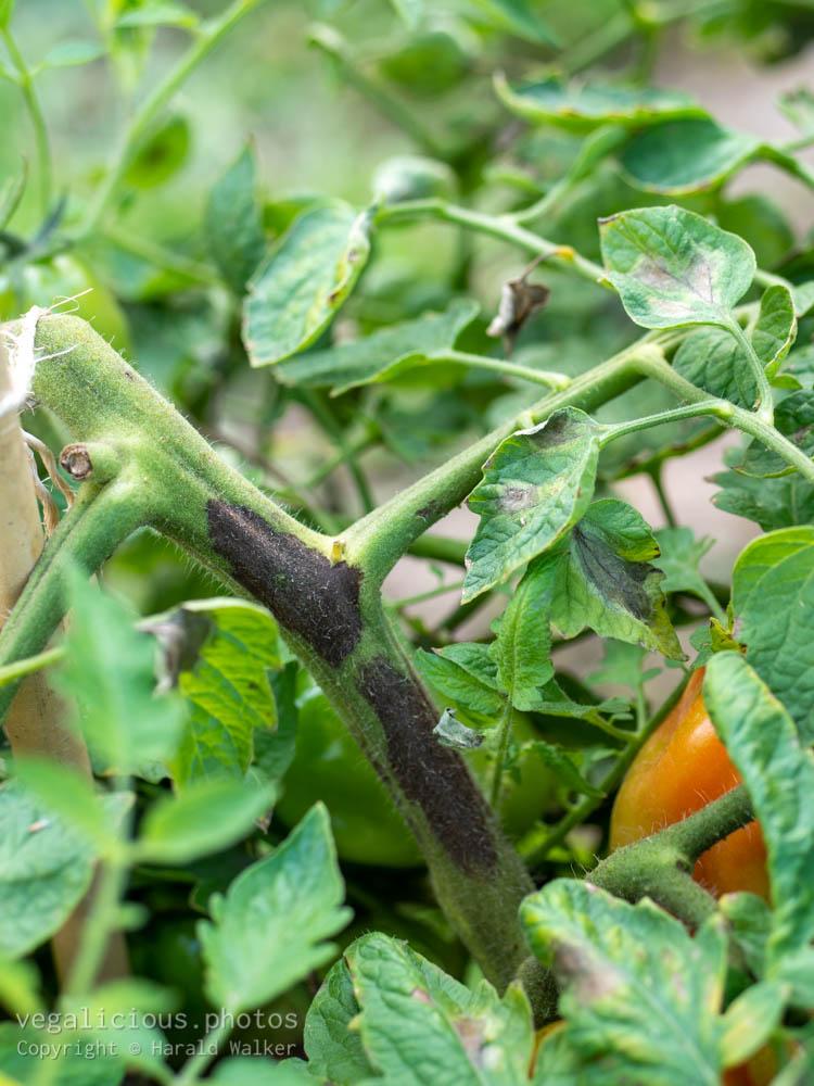 Stock photo of Tomato stem rot