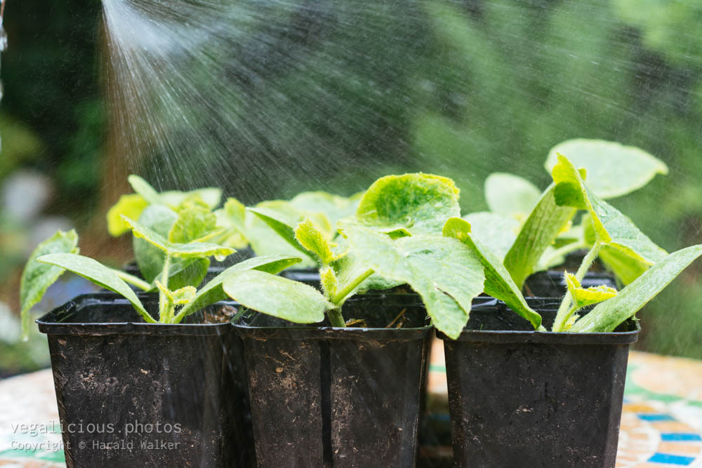 Stock photo of Squash seedlings being watered