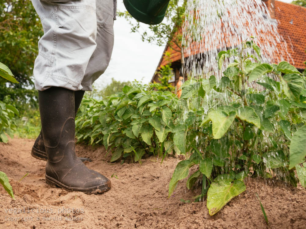 Stock photo of Watering potatoes