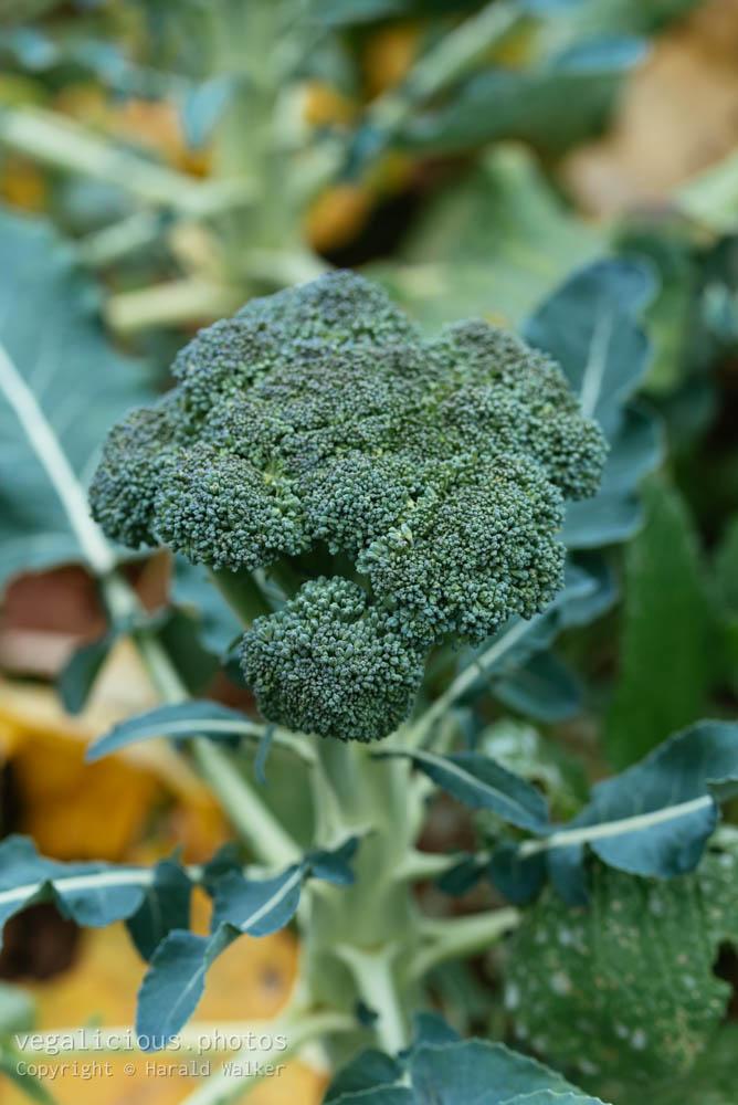 Stock photo of Broccoli plant