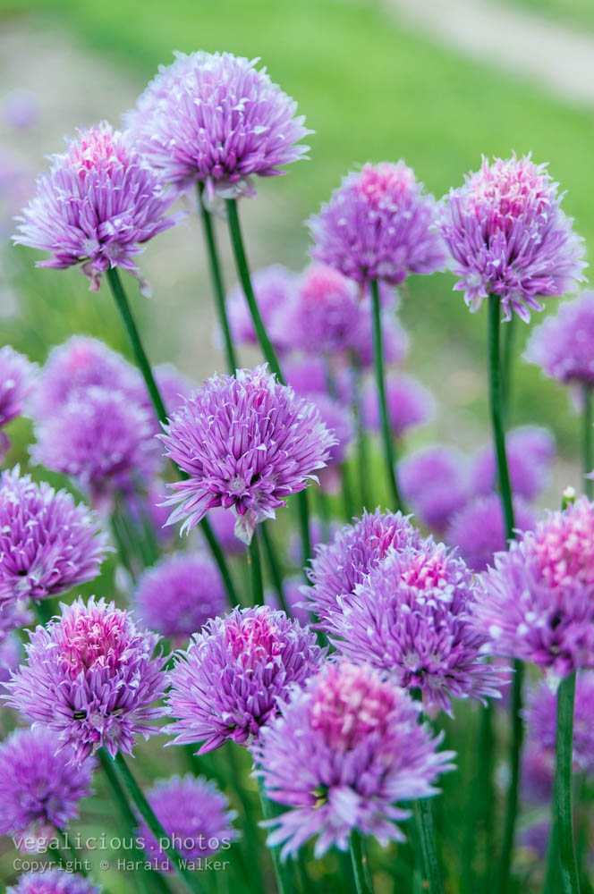 Stock photo of Chive blossoms