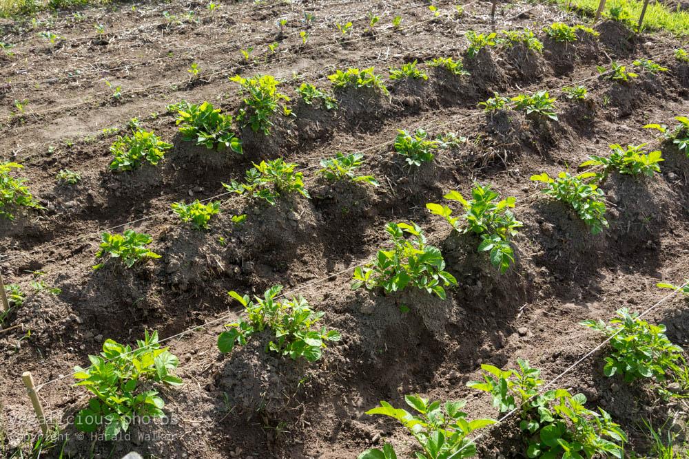 Stock photo of Potato rows