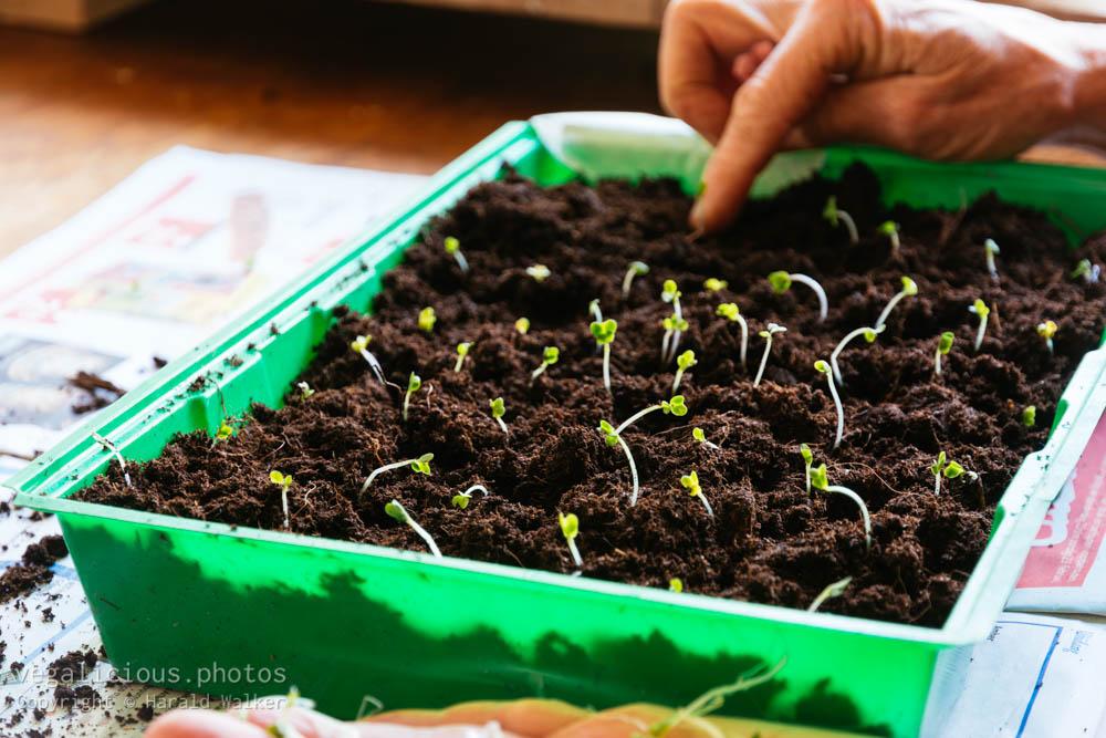 Stock photo of Planting broccoli seedlings