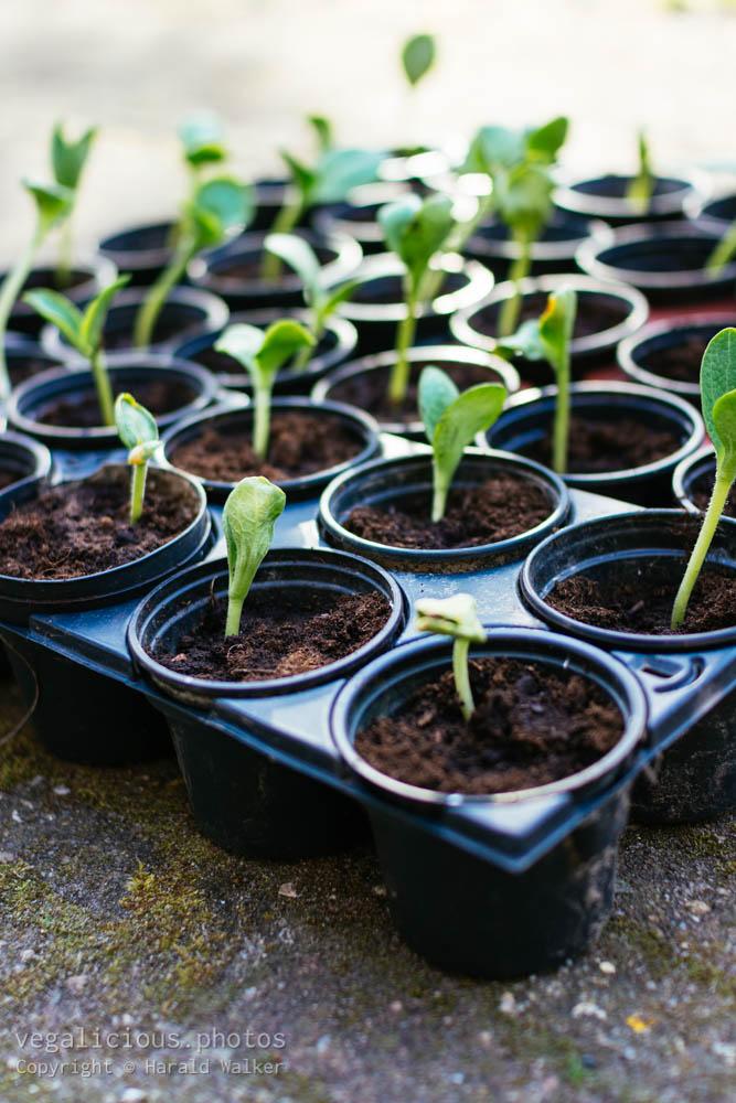 Stock photo of Pumpkin seedlings