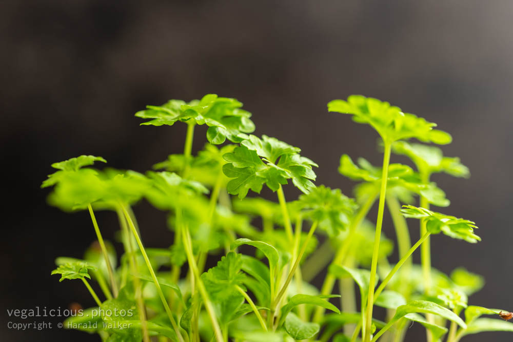 Stock photo of Parsley in a pot