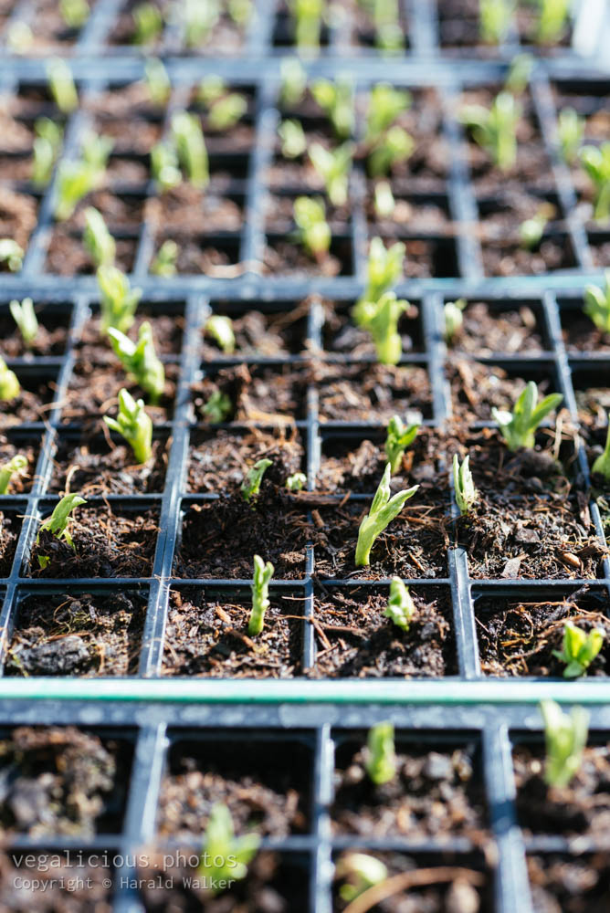Stock photo of Fava bean seedlings