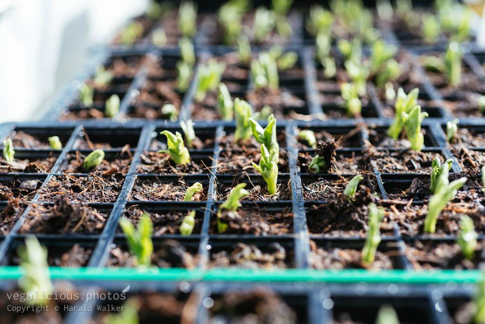 Stock photo of Fava bean seedlings