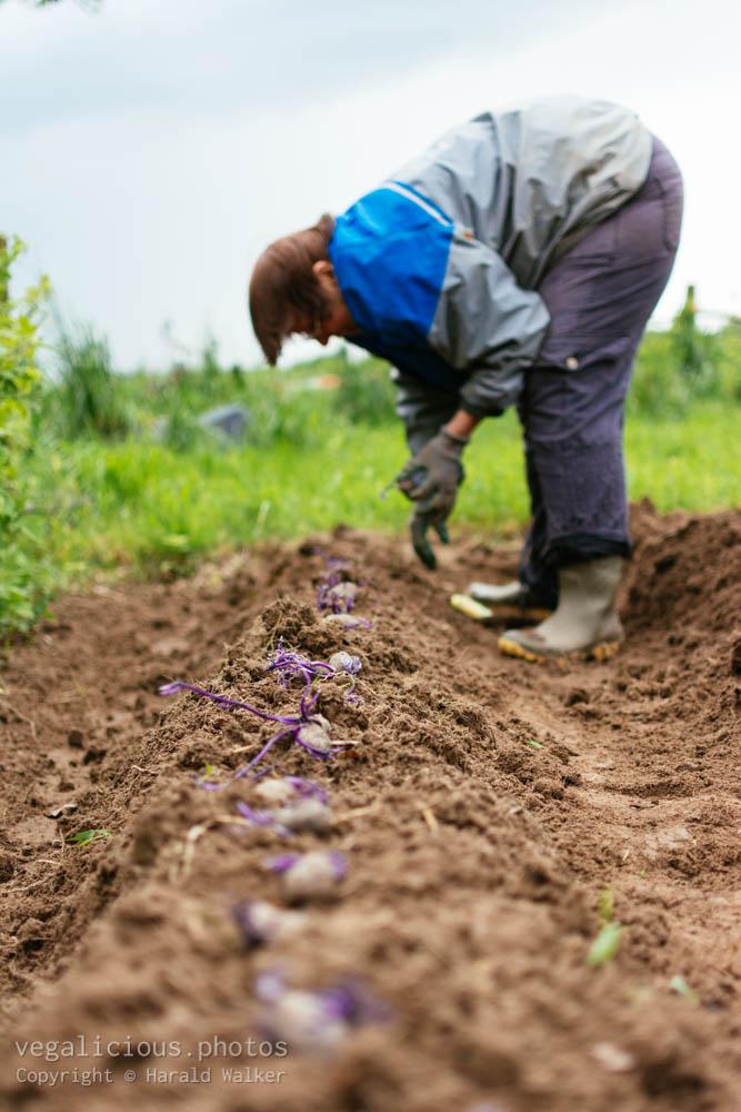 Stock photo of Planting potatoes