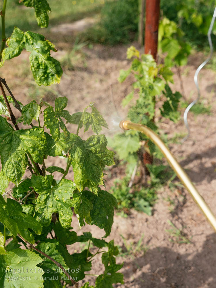 Stock photo of Spraying grapevines