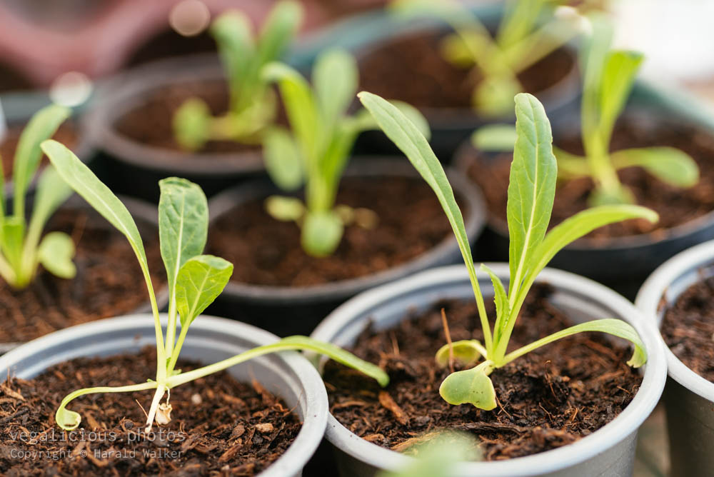 Stock photo of Mibuna seedlings