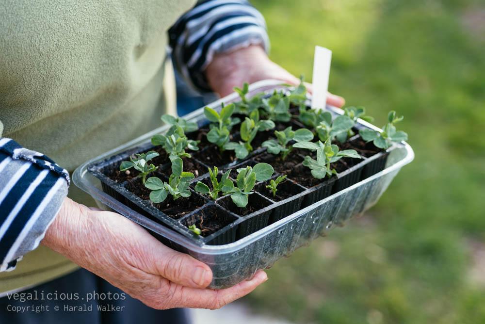 Stock photo of Snap pea seedlings