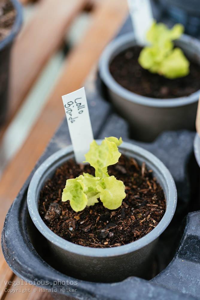 Stock photo of Green coral lettuce 'Lollo Bionda'