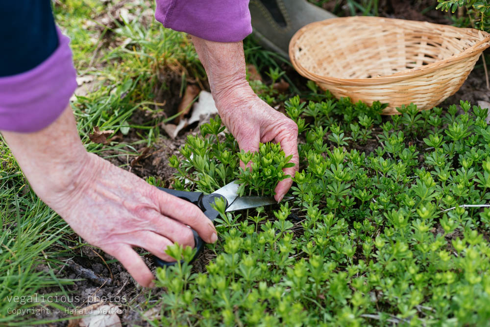 Stock photo of Harvesting sweetscented bedstraw
