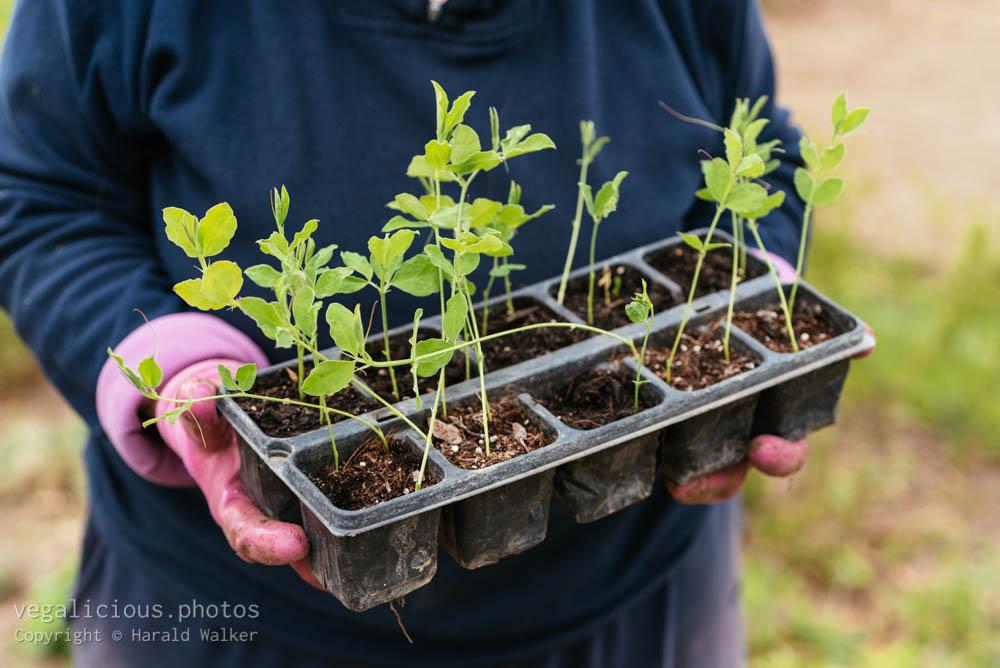 Stock photo of Sweet pea seedlings