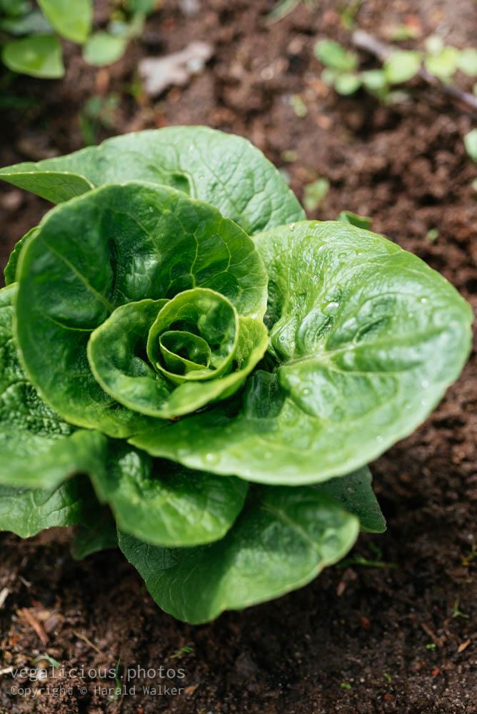 Stock photo of Lettuce Vailan Winter Gem