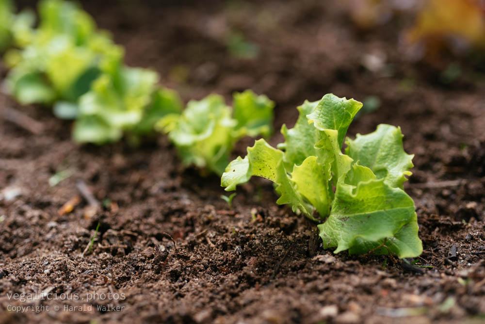 "Stock photo of Lettuce ""Leny"""