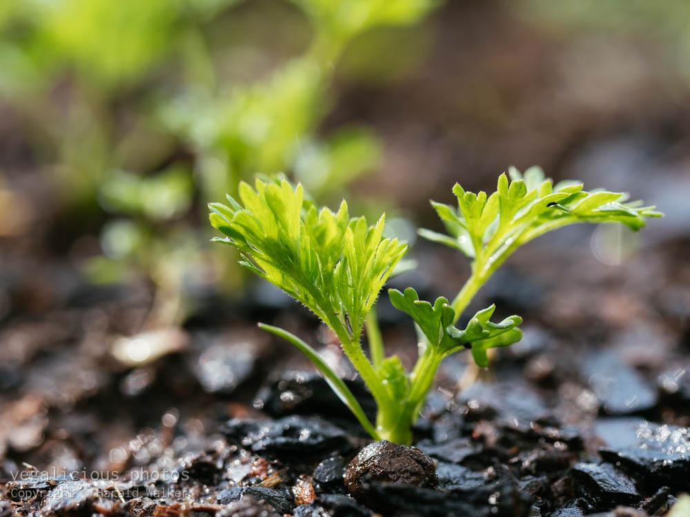 Stock photo of Carrot seedling