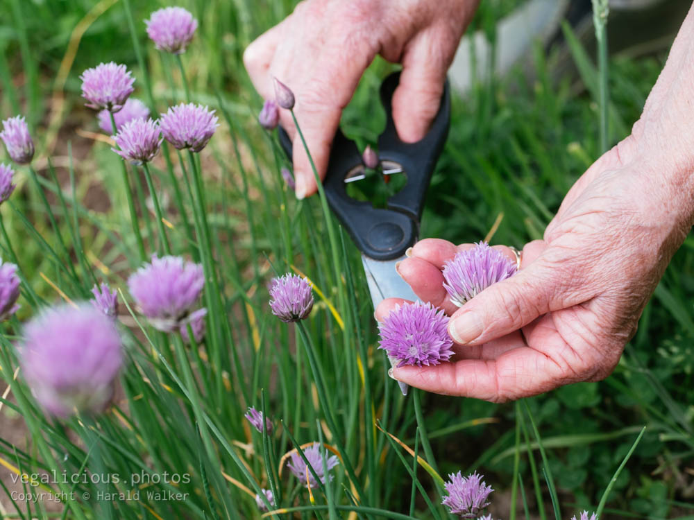 Stock photo of Harvesting chive flowers