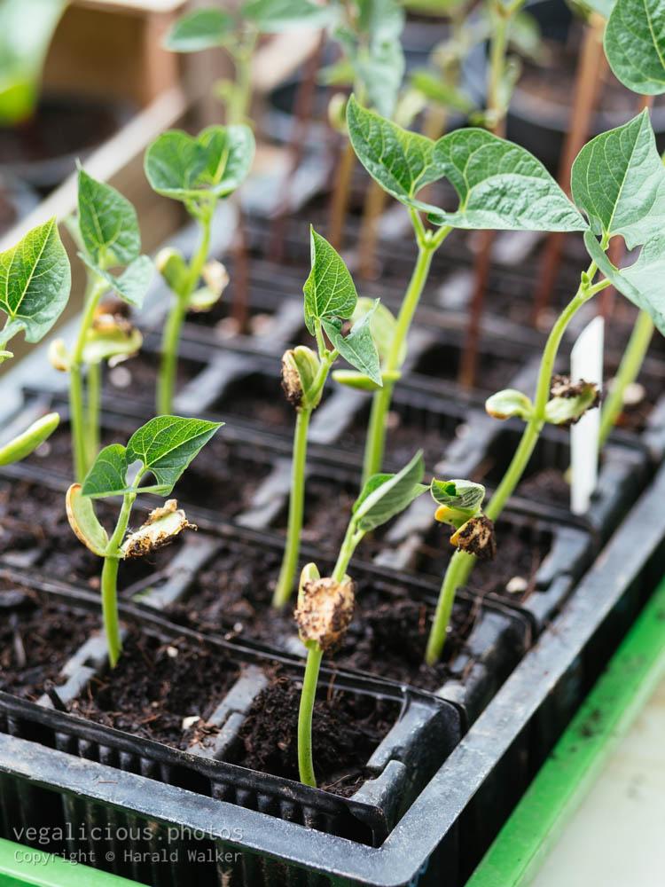 Stock photo of Bean seedlings
