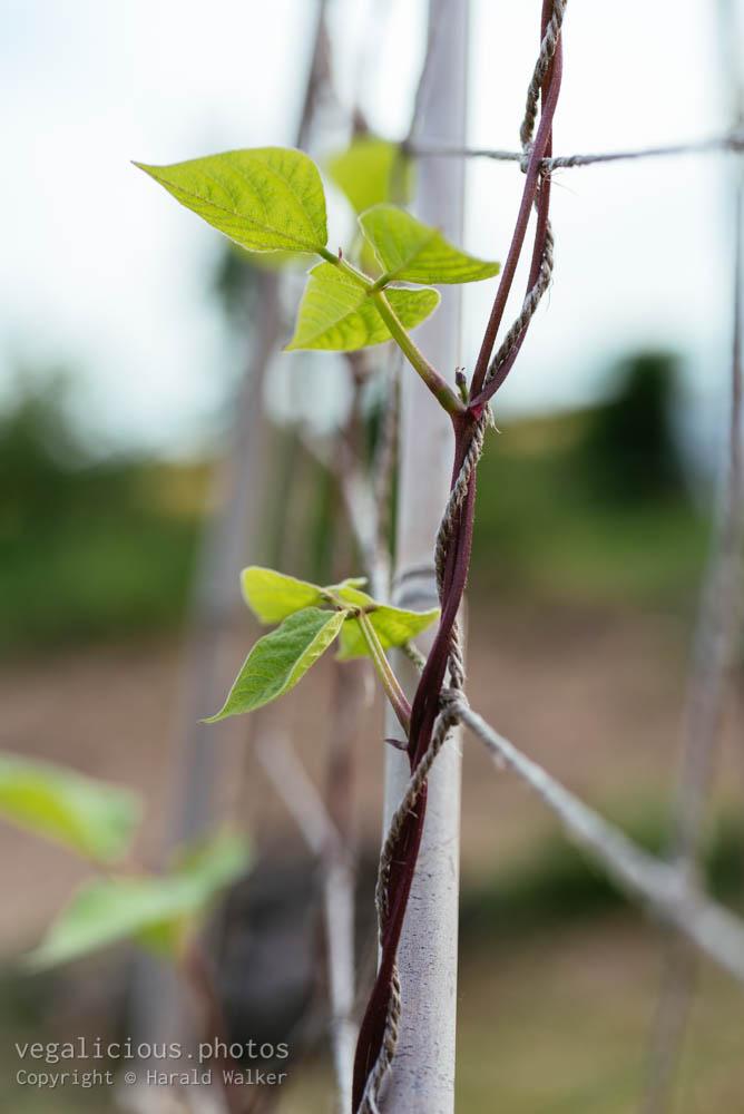 Stock photo of Climbing bean