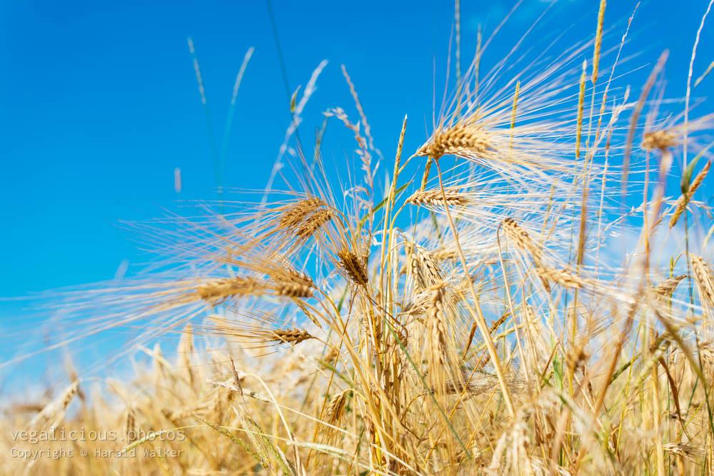 Stock photo of Barley field
