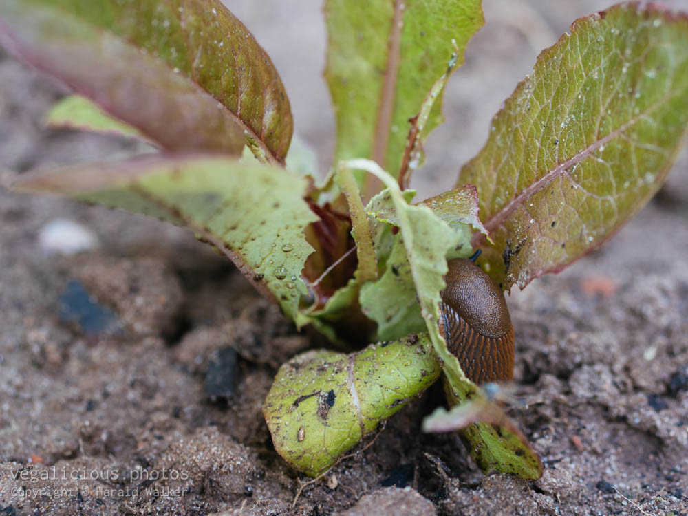 Stock photo of Slug eating lettuce