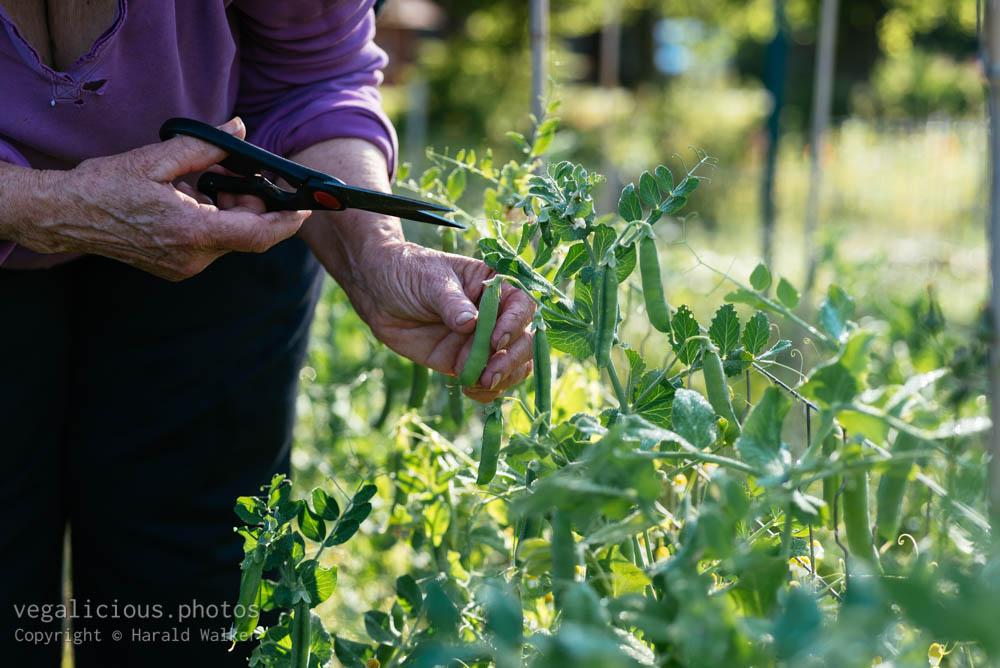 Stock photo of Pea harvest