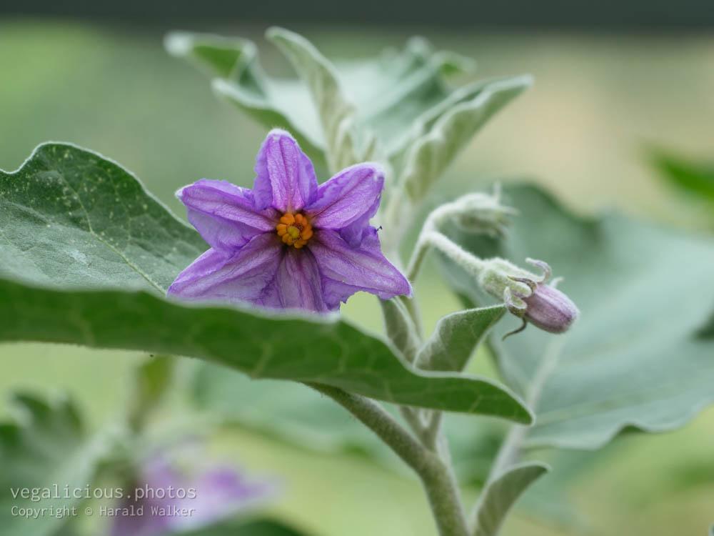 Stock photo of Eggplant flower